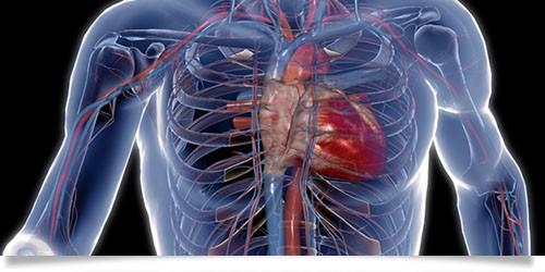 Serce, układ krążenia